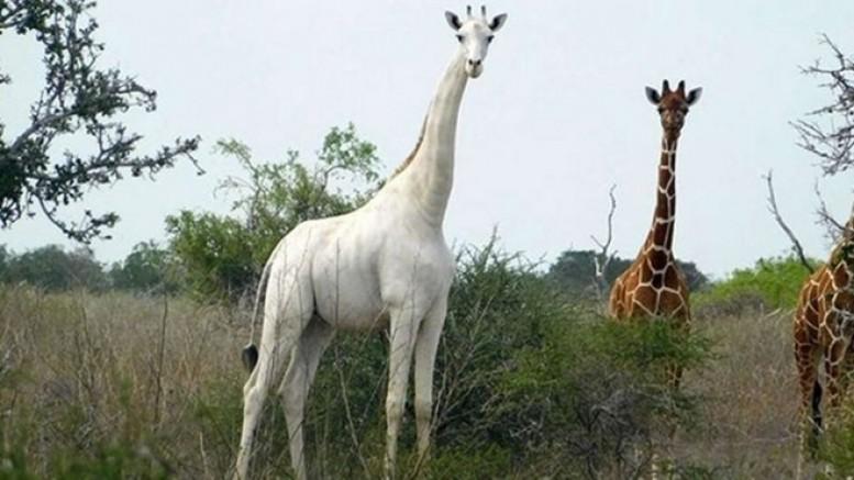 Ailesi öldürülen dünyanın tek beyaz zürafası korumaya alındı